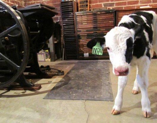 Moglea Studio_Cow
