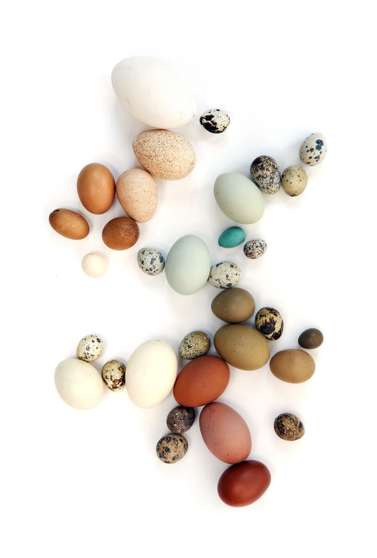 egg-collection-4