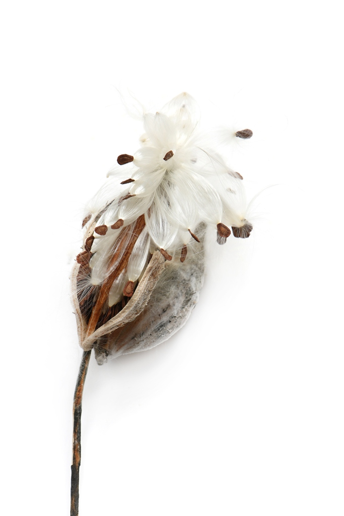 milkweed-fluff-9